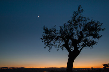 Lonely olive tree at dusk