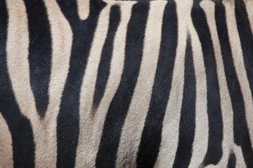 Printed roller blinds Zebra Burchell's zebra (Equus quagga burchellii). Skin texture.