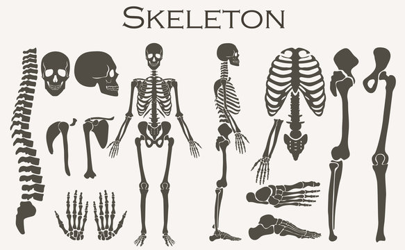 Human bones skeleton silhouette  collection set. High detailed Vector illustration.