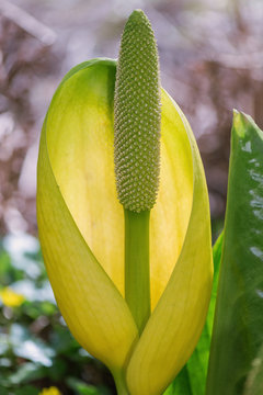 Lysichiton americanus also called western or yellow skunk cabbag