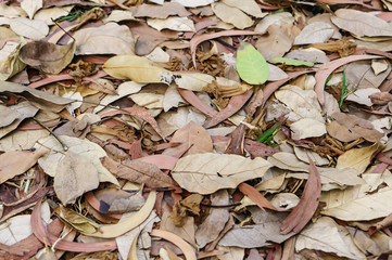large brown dried falling leaves on the ground