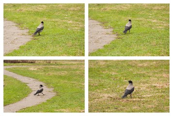 Carrion Crow walking on green grass