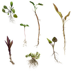 Set of watercolor drawing herbs with roots