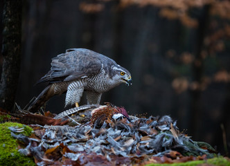 Goshawk feeding on pheasant