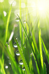Wall Mural - Fresh green grass with water drops closeup. Soft focus. Nature Background