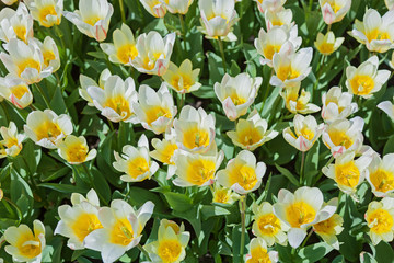 tulips, flower-bed with tulips blossoming in different shapes an