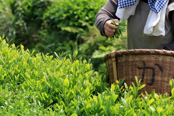 Japanese tea hand picking
