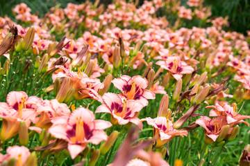 Beautiful View orange daylily flowers in garden