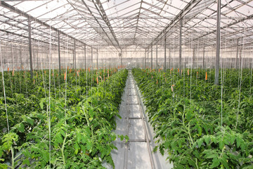 Cultivation of cucumbers in greenhouse