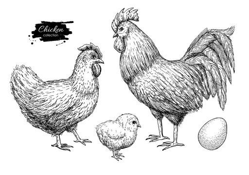 Vector chicken breeding hand drawn set. Engraved Chicken, Roster, chick