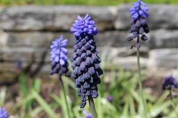 Purple and blue grape hyacinth flowers in st gallen switzerland see more mightylinksfo