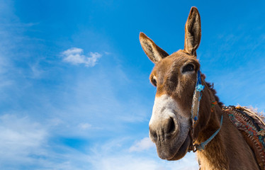Donkey, farm animal in the Moroccan countryside on sky background.  Copy space in right part for your text.