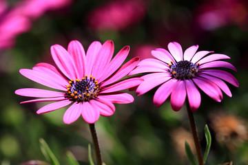 Beautiful Spanish daisy flowers