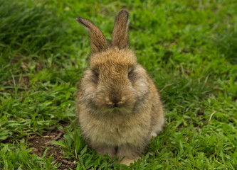 Grey small rabbit closeup sitting in the grass.