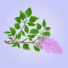 Lilac twig with flowers and leaves natural background vector illustration
