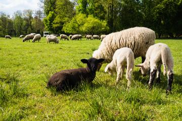 Schwarzes Lamm zwischen weißen Schafen