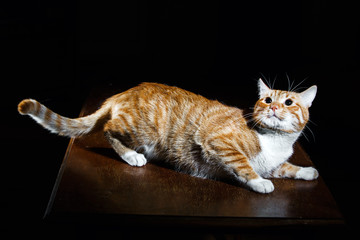 Ginger ginger tabby cat on a wooden table