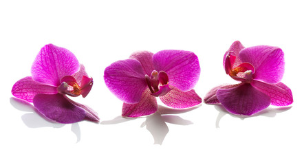 orchid flowers on a white background.