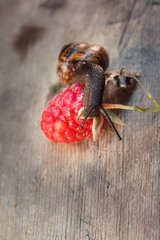 Garden snail, Helix aspersa on the red raspberries