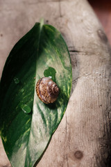 Garden snail, Helix aspersa aspersa on the green leaf