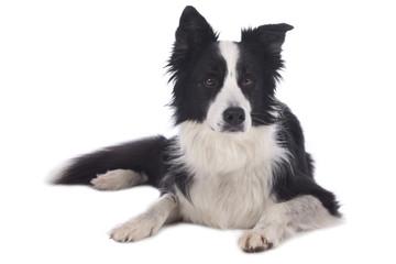 Hübscher Border Collie Hund liegt auf weißem Hintergrund