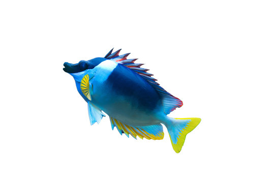 Isolated cute blue and yellow fish