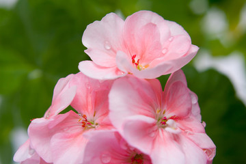 Flowers of pink geranium closeup