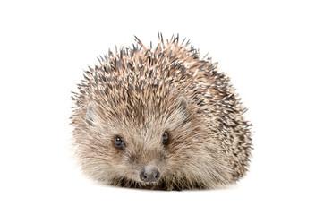 Hedgehog sitting isolated on white background