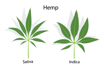 Hemp leaves  different between saliva and indica