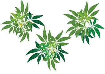 Hemp leaves from top position  background picture