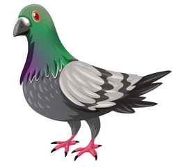 Pigeon with green and gray feather