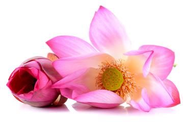 Lotus flowers on white background