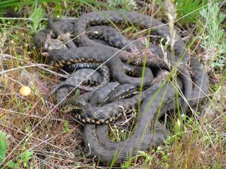 Dice snake (Natrix tessellata) breeding ball