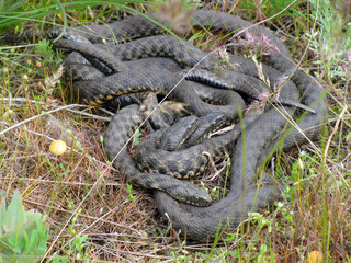 Mating behavior of Dice snakes (Natrix tessellata)