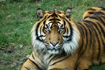 Tiger mit intensiven Augen