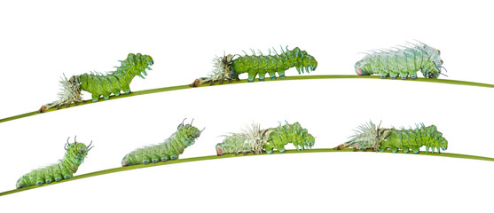 Isolated molting caterpillar of Atlas butterfly