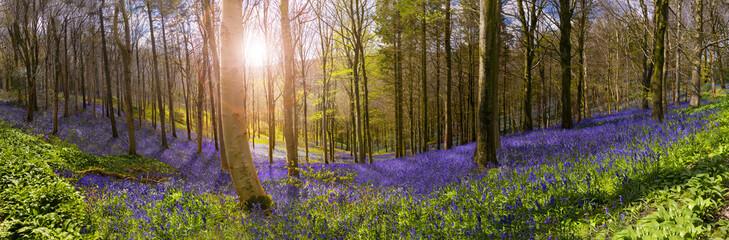 Sunlight illuminates peaceful bluebell woods