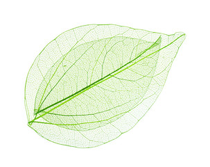 In de dag Decoratief nervenblad Skeleton leaves isolated on white