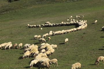 Toscana,gregge di pecore nella campagna Toscana.