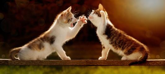 zwei junge Katzen spielen auf einem Holzbrett im Gegenlicht