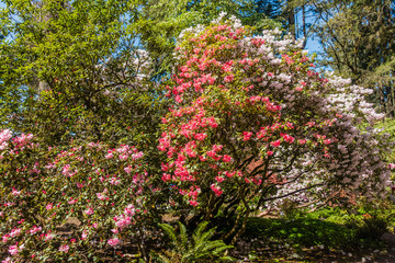 Rhododendron Profusion