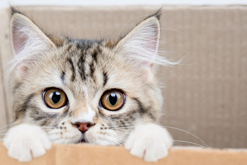 Lovely tabby persian cat playing in the paper box