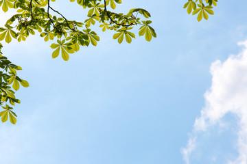 Frische, grüne Blätter eines Kastanienbaumes vor blauem Himmel, im Gegenlicht