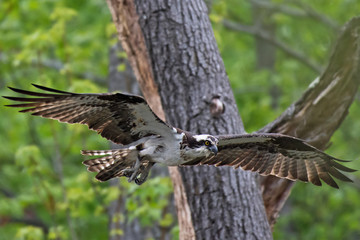 Osprey flying through forest in North Point State Park, MD