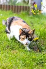 Katze jagt im Garten einen Käfer