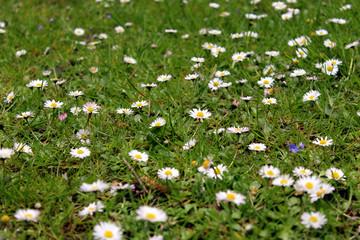 Foto auf Acrylglas Ganseblumchen Madeliefjes in het gras