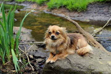 Acrylic Prints Dog Chihuahua op steen in water