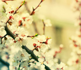 Spring plum flowers for background. Spring plum flowersin sun rays/  toned picture