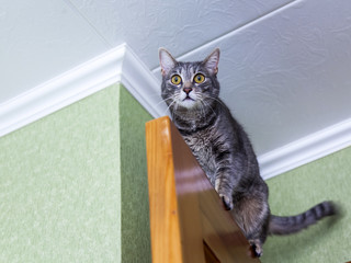 The attractive gray cat looks around  from above