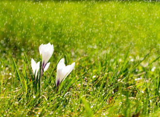 Crocus flowers on meadow in the sunshine in the rain